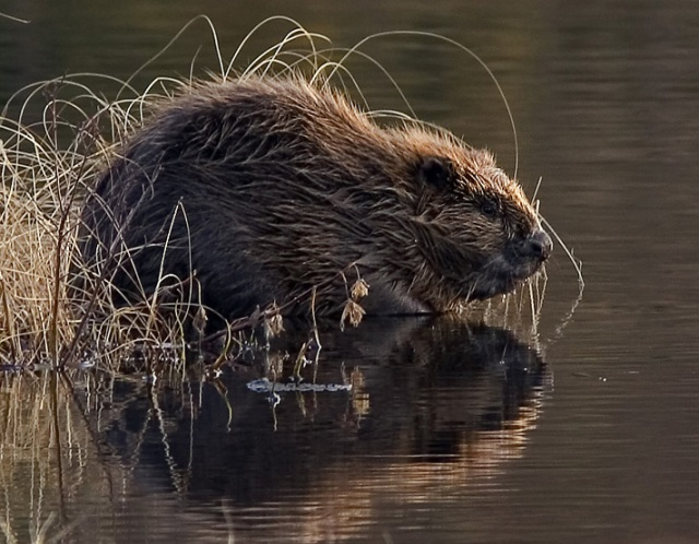 European beaver: Per Harald Olsen, Wikipedia Commons