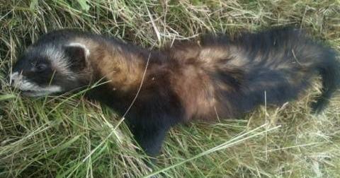 Western Polecat (Mustela putorius)