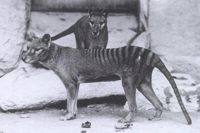 "'Tasmanian ""Zebra Wolf""' (aka Tasmanian Tiger) Thylacinus in Washington DC National Zoo c. 1904 (public domain)"