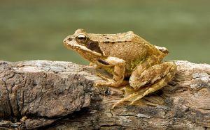"""European Common Frog Rana temporaria"" by Richard Bartz, Munich aka Makro Freak Image:MFB.jpg - Own work. Licensed under CC BY-SA 2.5 via Wikimedia Commons - https://commons.wikimedia.org/wiki/File:European_Common_Frog_Rana_temporaria.jpg#/media/File:European_Common_Frog_Rana_temporaria.jpg"