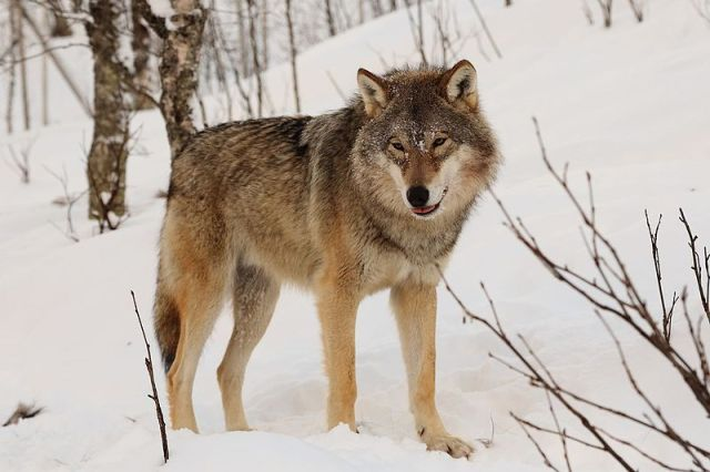Eurasian Wolf By Mas3cf (Own work) [CC BY-SA 4.0 (http://creativecommons.org/licenses/by-sa/4.0)], via Wikimedia Commons)