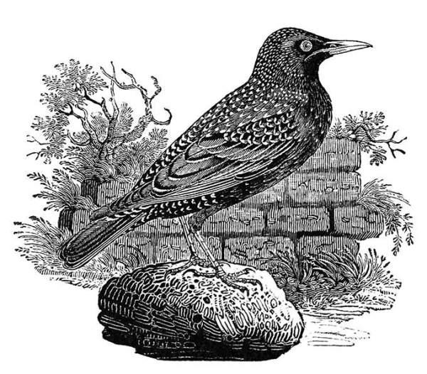 starling-bewick
