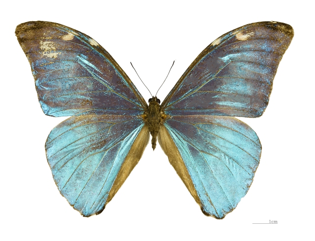 Morpho eugenia MHNT male (Credit: https://commons.wikimedia.org/wiki/File%3AMorpho_eugenia_MHNT_male_dos.jpg