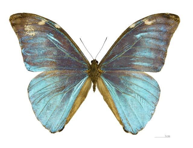 Morpho eugenia MHNT male (Credit: https://commons.wikimedia.org/wiki/File%3AMorpho_eugenia_MHNT_male_dos.jpg